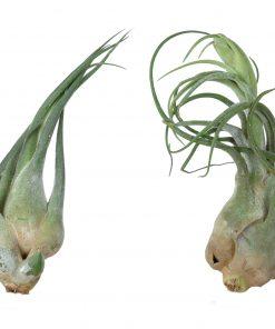 Luftpflanze Tillandsia seleriana