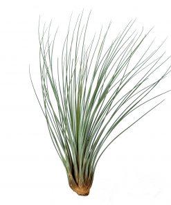 Luftpflanze Tillandsia juncea