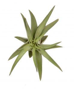 Luftpflanze Tillandsia abdita