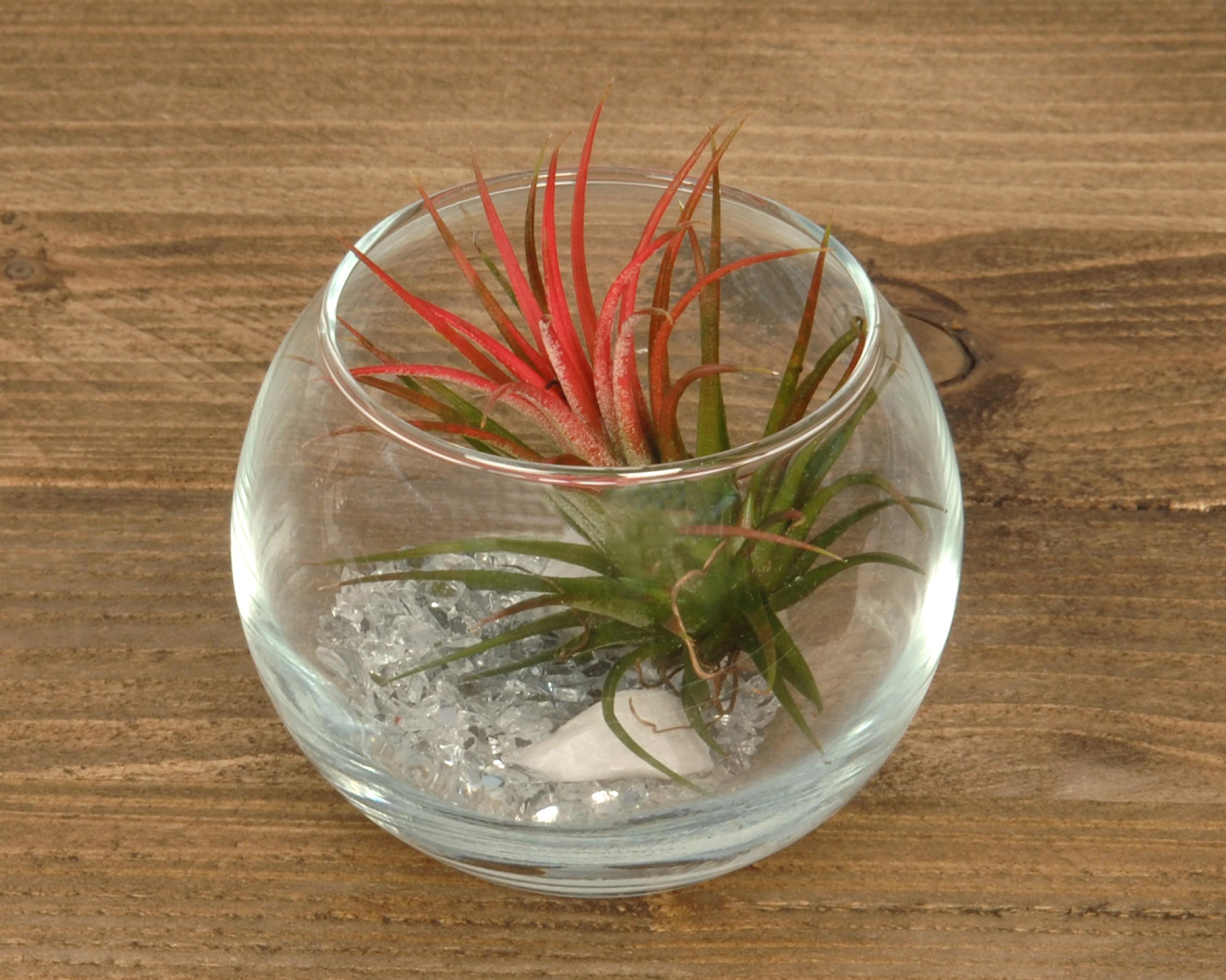 tillandsien im glas sphere small corsa webshop luchtplantjes en tillandsia. Black Bedroom Furniture Sets. Home Design Ideas