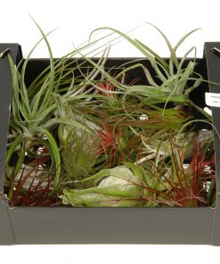 Tillandsia mix (25 pcs)