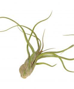 Luftpflanze Tillandsia caput medusae