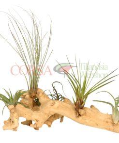 Tillandsia hout (XL)