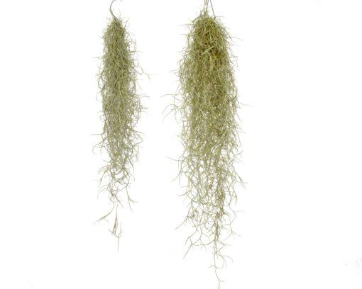 Luftpflanze Tillandsia usneoides