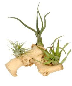 Tillandsia hout