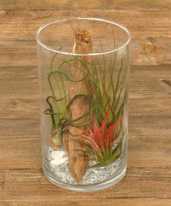 Tillandsia in glas cilinder (medium)