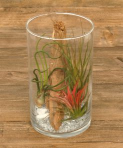 Tillandsia in glas cilinder (medium)