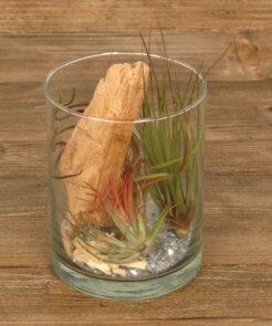 Tillandsia im Glas (cylinder small)