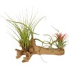 Tillandsia hout (large)
