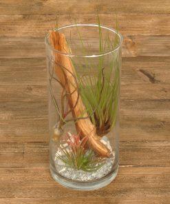 Tillandsia im Glas (cylinder large)