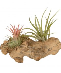 Tillandsia hout (small)