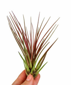 tillandsia melanocrater red
