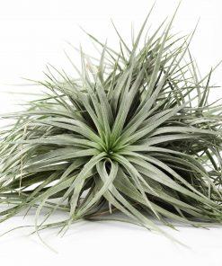 Luftpflanze Tillandsia silver clumb