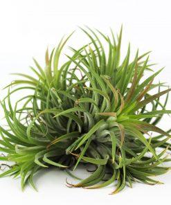 grüne ionantha Bündeln