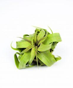 Luftpflanze Tillandsia streptophylla
