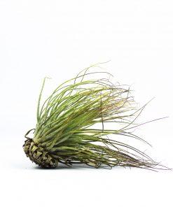 Luftpflanze Tillandsia magnusiana