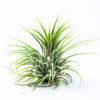 Tillandsia Ionantha groen