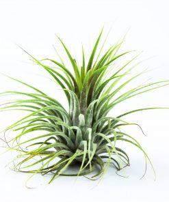 Luftpflanze Tillandsia ionantha