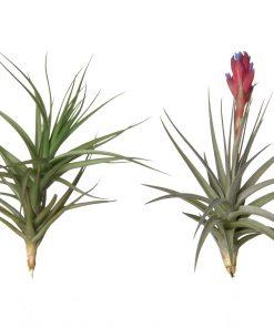Luftpflanze Tillandsia aeranthos