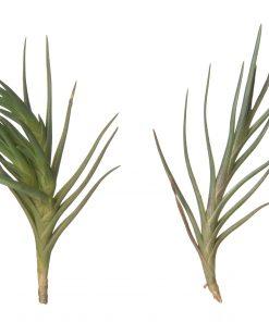 Luftpflanze Tillandsia albertiana