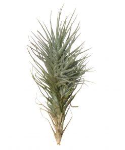 Luftpflanze Tillandsia heteromorpha