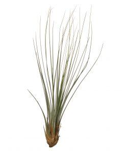 Luftpflanze Tillandsia juncifolia