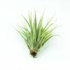 Luftpflanze Tillandsia kammii
