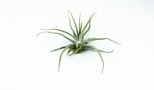 Luftpflanze Tillandsia lepidosepala