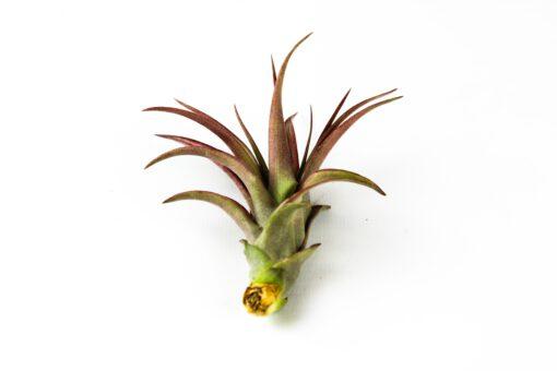 Luftpflanze Tillandsia multiflora rot