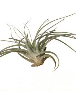Luftpflanze Tillandsia oaxacana