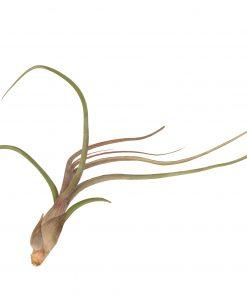 Luftpflanze Tillandsia baileyi