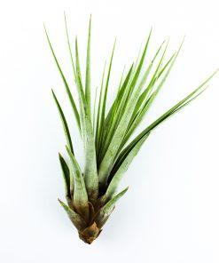 Luftpflanze Tillandsia fasciculata