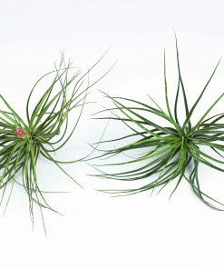Luftpflanze Tillandsia stricta