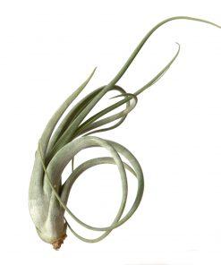 Luftpflanze Tillandsia circinata