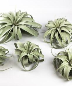 Luftpflanze Tillandsia xerographica