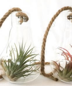 Air plants in glass