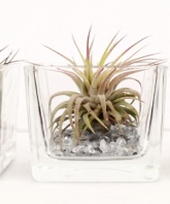 Tillandsia im Glas - square mini