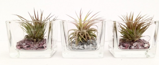Tillandsia in glas - vierkant mini