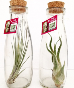 Tillandsia in glas - kurk fles large