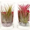 Tillandsia in glas - long drink