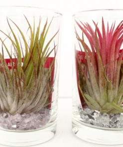 Tillandsia im Glas - long drink