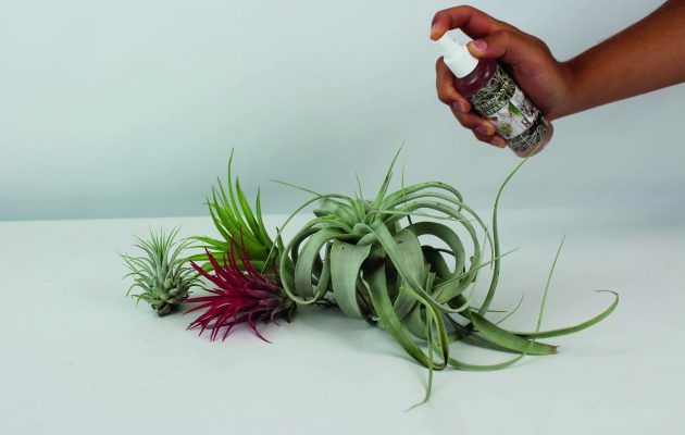 air plants care spray. Air plants caring, tillandsia care spray.