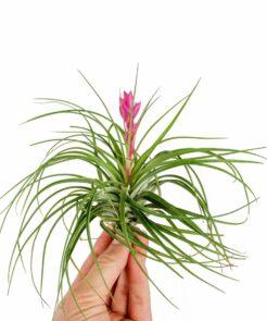 Air Plant soorten