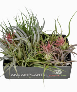 Air Plants mix