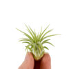 Tillandsia Ionantha Bonsai