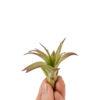 Tillandsia Multiflora Bonsai
