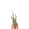 Tillandsia Caput Medusae Bonsai