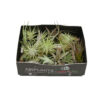 Tillandsia Bonsai mix (30 pcs)